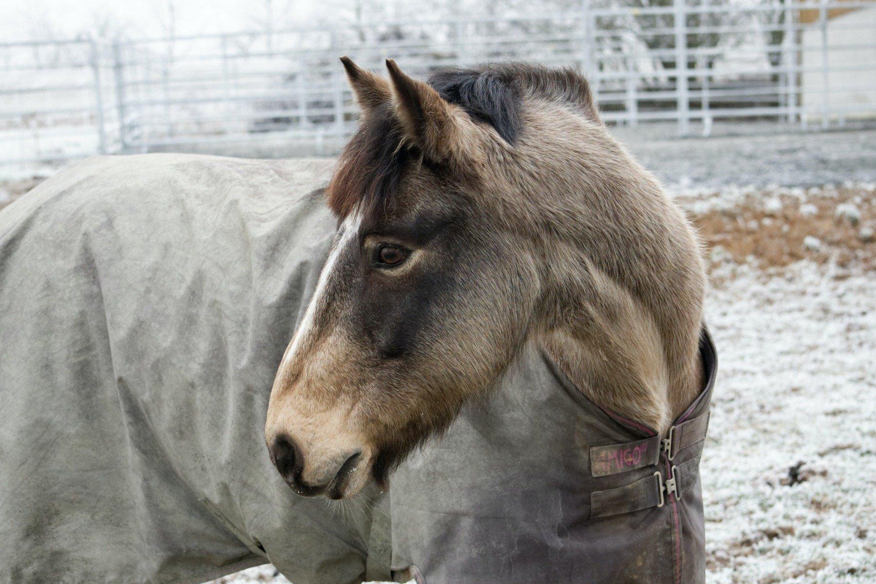 Pferd im Winter, eingedeckt auf der Koppel