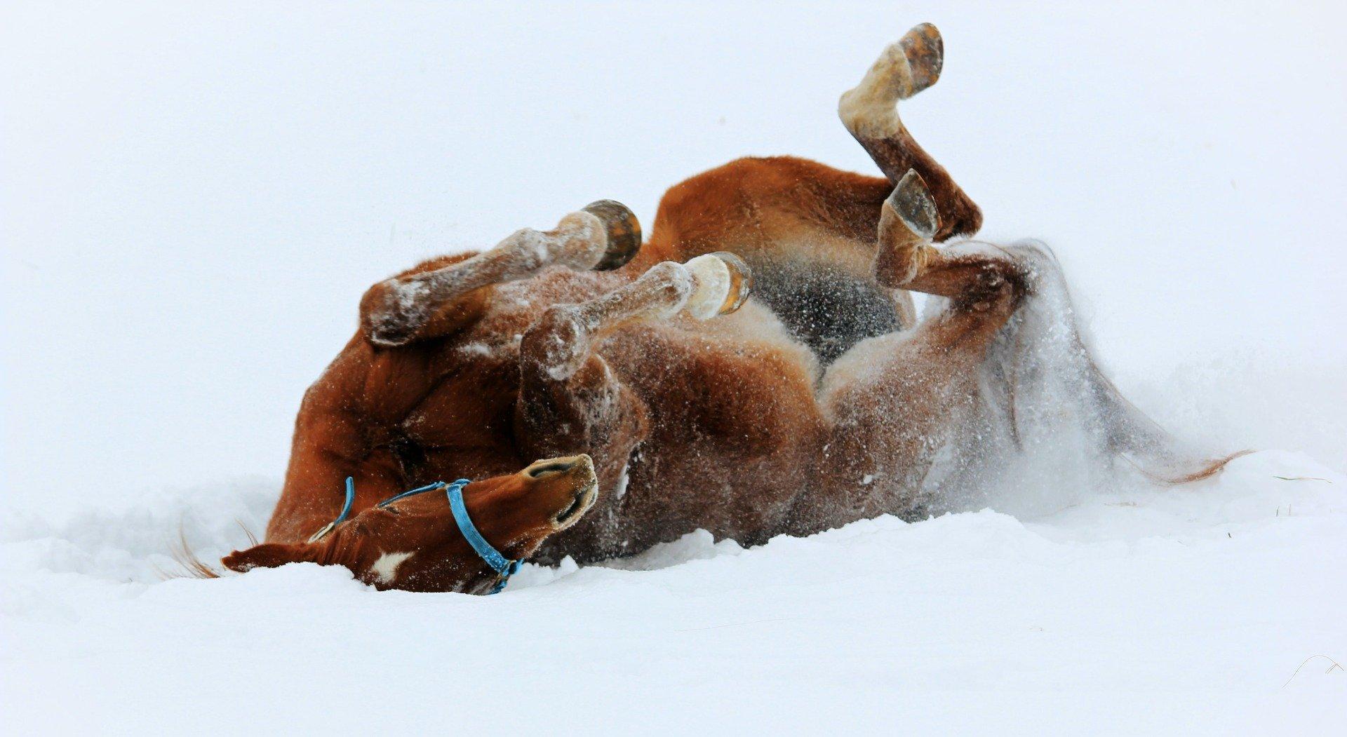 Pferd wälzt sich im Schnee